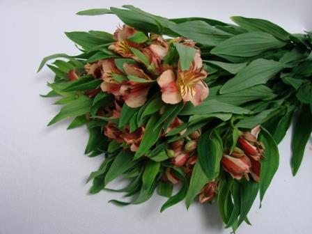 Alstroemeria Peach Orange