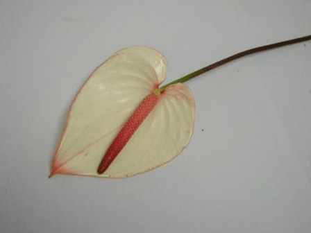 Anthurium White Tint