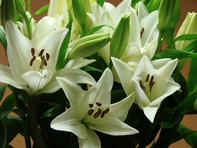 Asiatic Lillies Cream / Lilium
