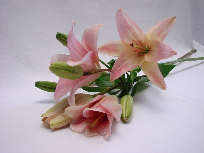 Asiatic Lillies Light Pink / Lilium