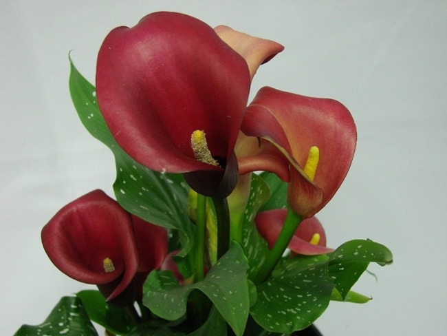 Cala Lillies Red / Arums / Zantedeschia