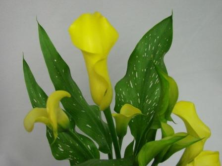 Cala Lillies Yellow / Arums / Zantedeschia