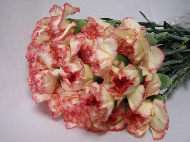 Carnations Cream with Pink Edge / Dianthus