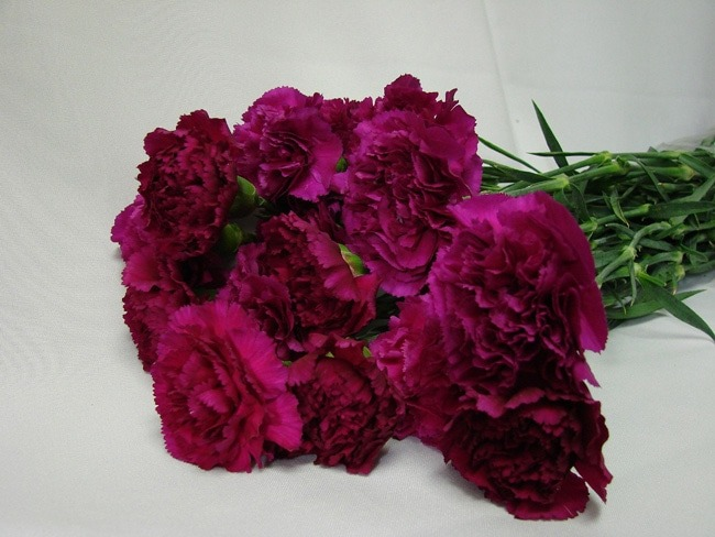 Carnations Dark Purple / Dianthus
