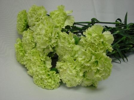 Carnations Green / Dianthus