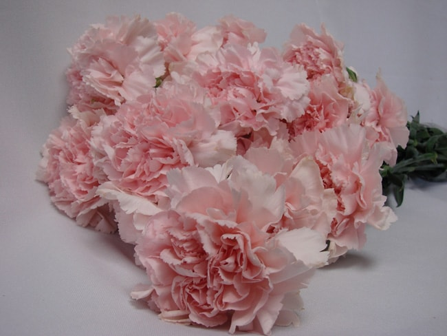 Carnations Light Pink / Dianthus