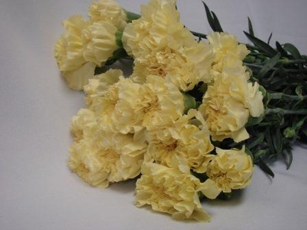 Carnations Light Yellow / Dianthus