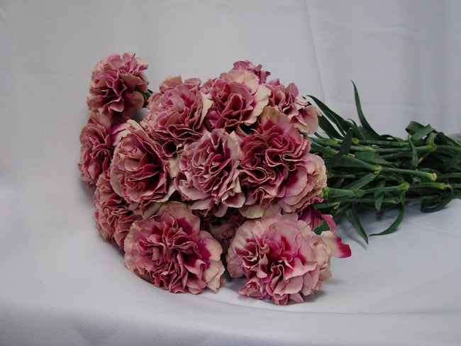 Carnations Purple with White Edge / Dianthus