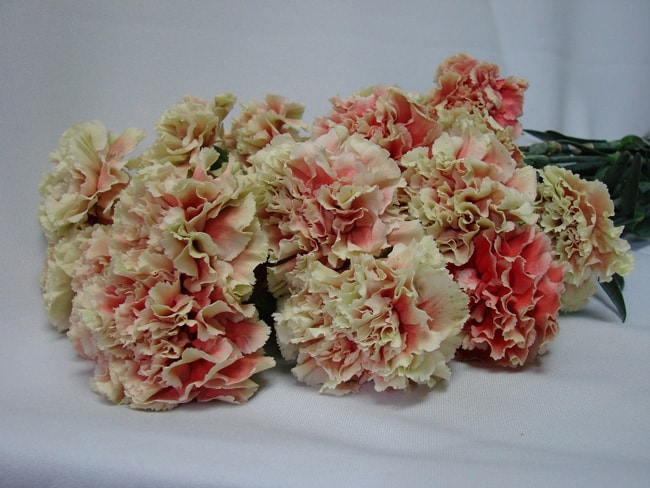 Carnations Red with Green Edge / Dianthus