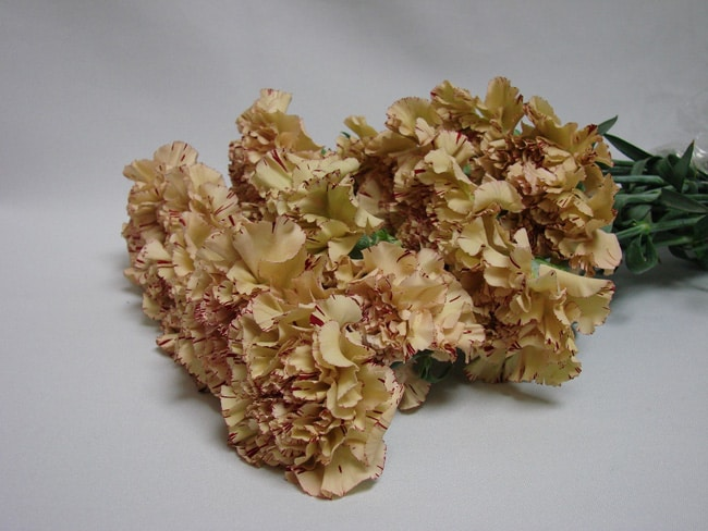 Carnations TT Brown / Dianthus