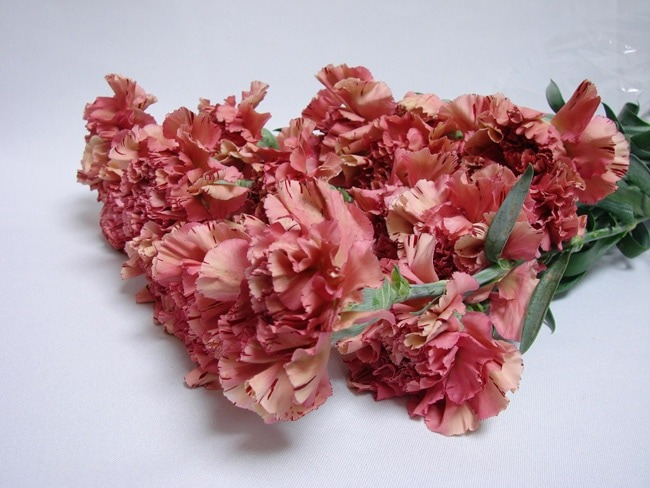 Carnations Watermelon Pink / Dianthus