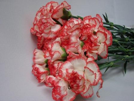 Carnations White with Red Edge / Dianthus