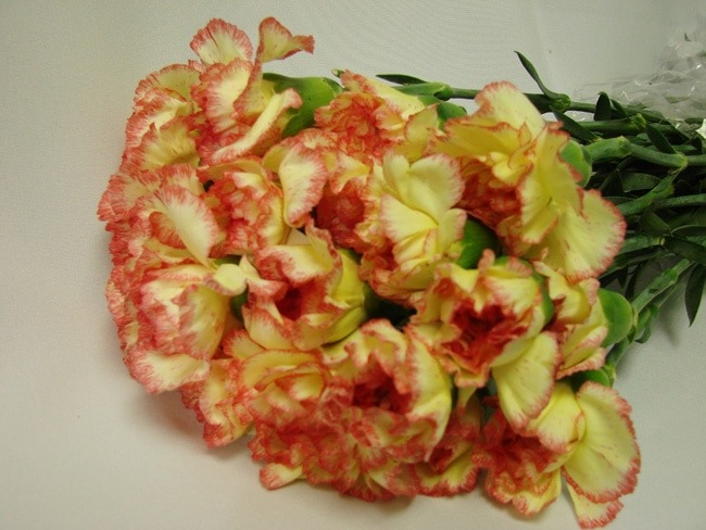 Carnations Yellow with Pink Edge / Dianthus