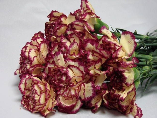 Carnations Yellow with Purple Edge / Dianthus