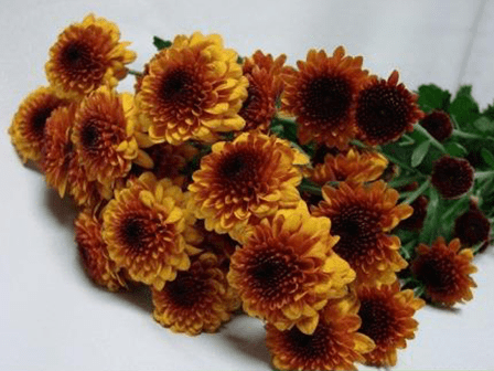 Chrysanthemum Brown Orange Button / Sprays / Asters
