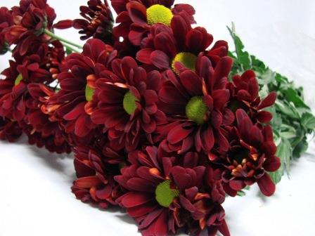 Chrysanthemum Burgandy Daisy / Sprays / Asters