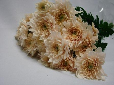 Chrysanthemum Cream Polaris / Sprays / Asters