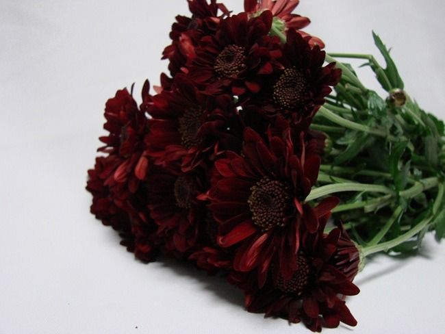 Chrysanthemum Double Burgandy Daisy / Sprays / Asters