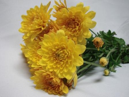 Chrysanthemum Gold Polaris / Sprays / Asters
