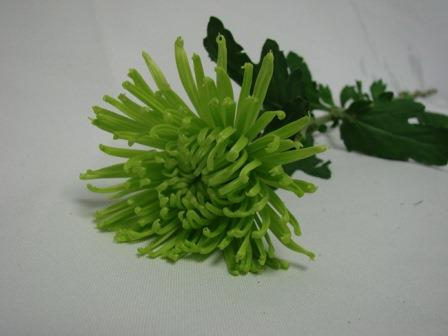 Chrysanthemum Green Spider / Sprays / Asters