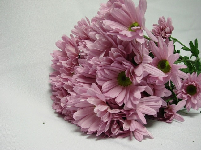 Chrysanthemum Lilac Pink Daisy / Sprays / Asters