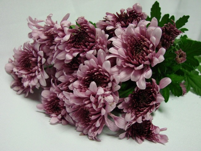 Chrysanthemum Lilac Pink Polaris / Sprays / Asters