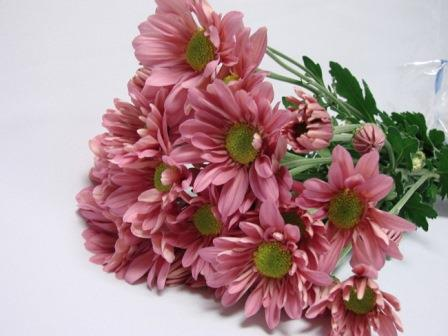 Chrysanthemum Pink Daisy / Sprays / Asters