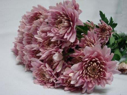 Chrysanthemum Pink Polaris / Sprays / Asters
