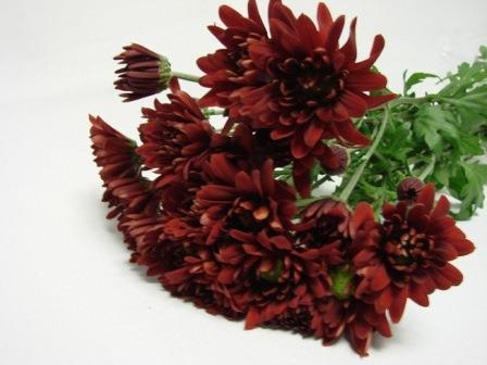 Chrysanthemum Red Daisy / Sprays / Asters