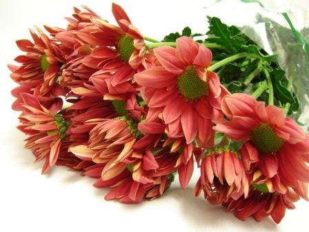 Chrysanthemum Watermelon Pink / Sprays / Asters