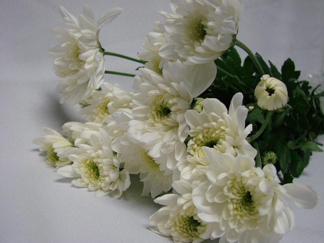 Chrysanthemum White Polaris / Sprays / Asters