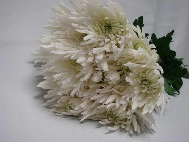Chrysanthemum White Spider / Sprays / Asters