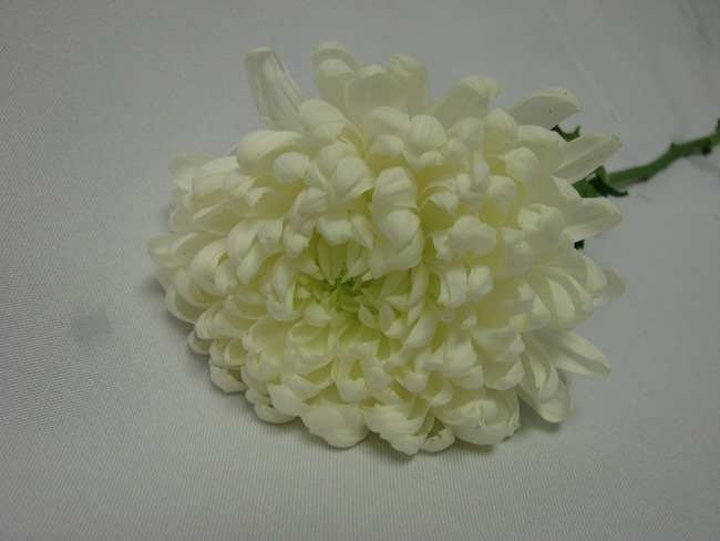 Chrysanthemum White Stem / Sprays / AstersWhite Spider / Sprays / Asters