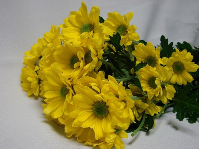 Chrysanthemum Yellow Daisy / Sprays / Asters