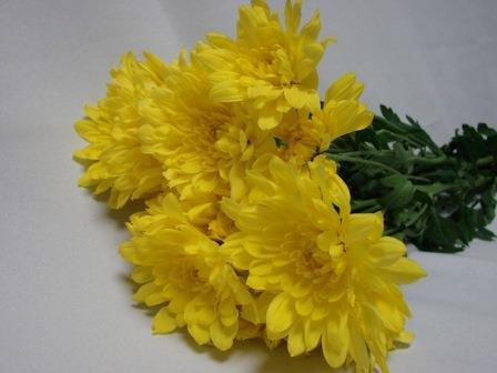 Chrysanthemum Yellow Polaris / Sprays / Asters