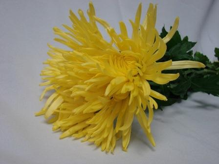 Chrysanthemum Yellow Spider / Sprays / Asters