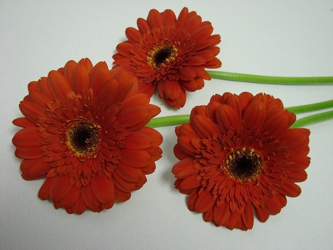 Gerbera Brown Rust with Black Eye / Barberton Daisy