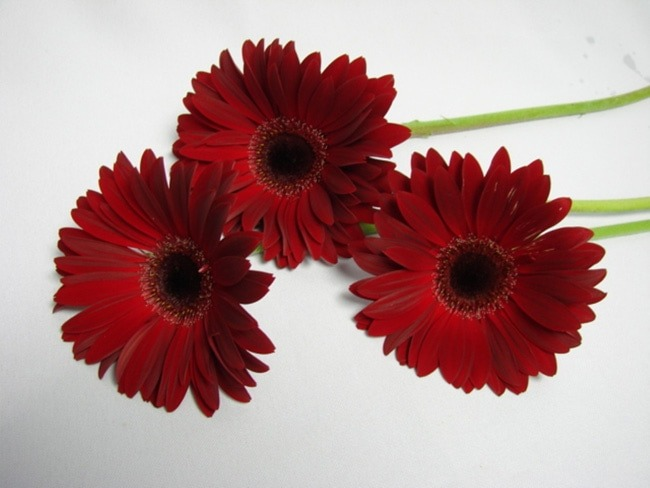Gerbera Burgandy with Black Eye / Barberton Daisy