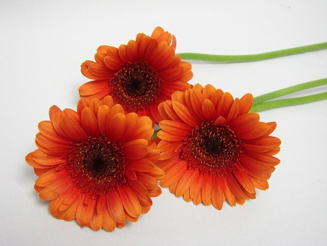 Gerbera Burnt Orange Two Tone with Black Eye / Barberton Daisy