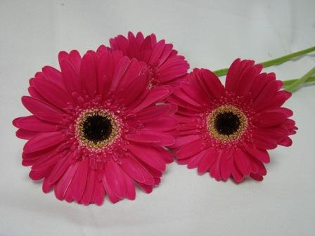Gerbera Cerise with Black Eye / Barberton Daisy