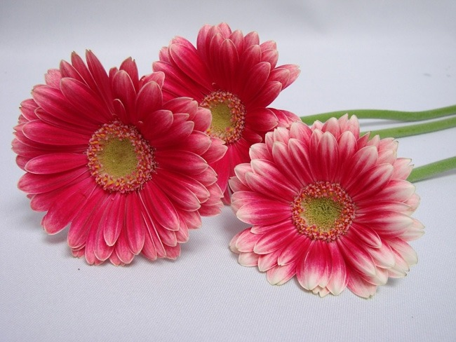 Gerbera Cerise with White Edge with Green Eye / Barberton Daisy