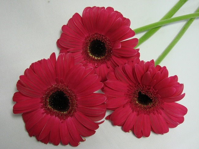 Gerbera Dark Cerise with Black Eye / Barberton Daisy