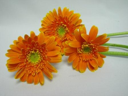 Gerbera Double Orange with Green Eye / Barberton Daisy