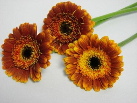 Gerbera Double Two Tone Brown with Black Eye / Barberton Daisy
