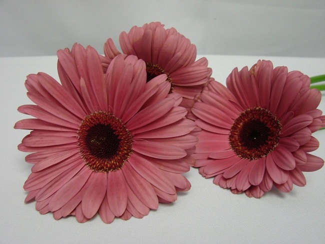 Gerbera Dusty Pink with Black Eye / Barberton Daisy