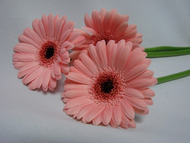 Gerbera Light Pink with Black Eye / Barberton Daisy