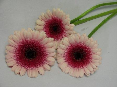 Gerbera Light Pink with Cerise Eye / Barberton Daisy