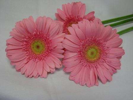 Gerbera Light Pink with Green Eye / Barberton Daisy