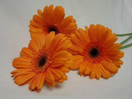 Gerbera Orange with Black Eye / Barberton Daisy
