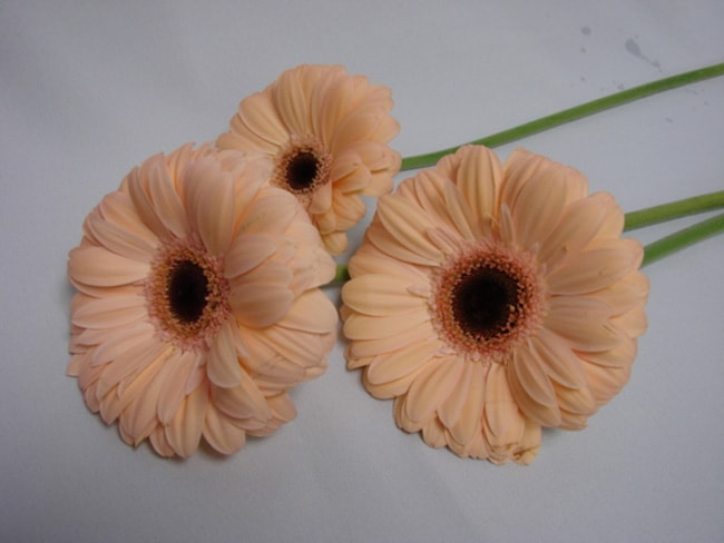 Gerbera Peach with Black Eye / Barberton Daisy